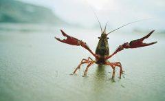 crayfish_1516006a