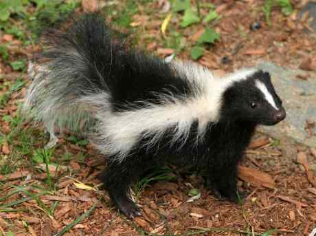 skunk conservative